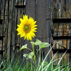 Joy.-Sunflower