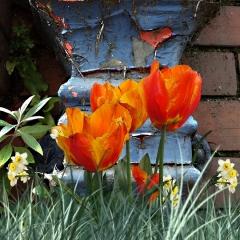 Orange tulips and drainpipe