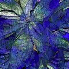 Schizostylis in blue