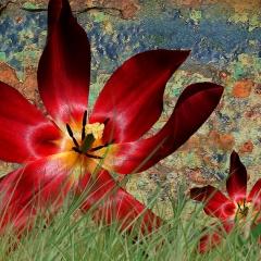 Tulip in full bloom 2