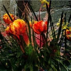 Tulips bursting into life