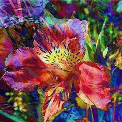colourful alstomeria