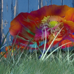 multi colour poppy